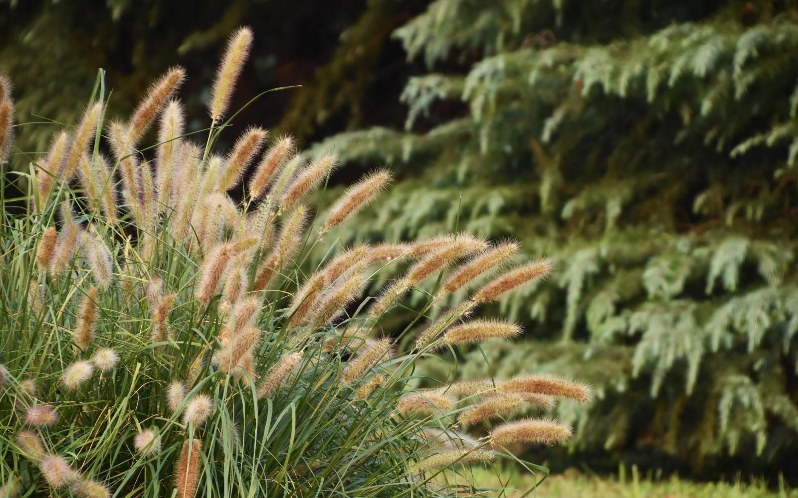 共青森林公园白穗狼尾草成片展现森林野趣